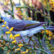 Noisy Miner In Oz Art Print