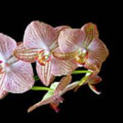 Orchid Phalaenopsis Flower Art Print