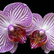 2 Orchids Art Print