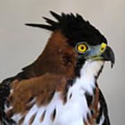 Ornate Hawk-eagle Art Print