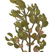 Pacific Mistletoe Art Print