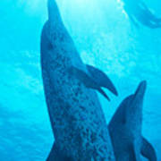 Pair Of Spotted Dolphins Art Print