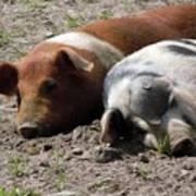 Pigs Art Print