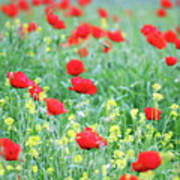 Poppy Flowers Meadow Spring Season Art Print