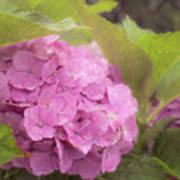 Purple Hydrangea At Rainy Garden In June, Japan Art Print