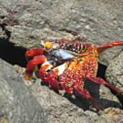 Red Rock Crab Art Print