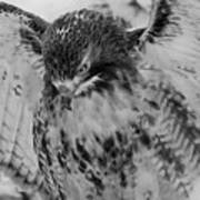 Red-tailed Hawk In Snow Art Print