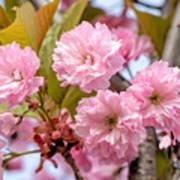 Sakura Flowers Art Print