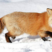 Sneaky Red Fox Art Print