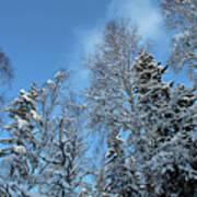 Snowy Trees Against A Blue Sky Art Print