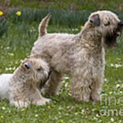 Soft-coated Wheaten Terriers Art Print