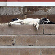 Street Dog Sleeping On Steps Art Print