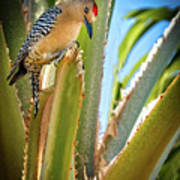 The Gila Woodpecker Art Print