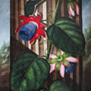 Thornton: Passion-flower Art Print