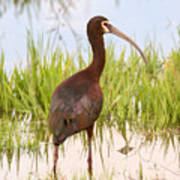 White Faced Ibis Art Print