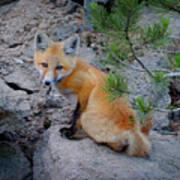 Wild Fox Near Den In Wilderness Animals Art Print