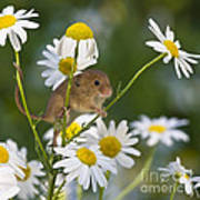 Young Eurasian Harvest Mouse Art Print