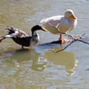 2002-ducks Art Print