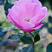 2015 After The Frost At The Garden Pink  Rose Art Print