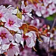 2017 Earthday Olbrich Gardens Fuji Cherry 1 Art Print