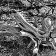 201702250-005k Cedar Stumps 2x3 Art Print