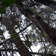 Australia - Spider Web High In The Tree Art Print