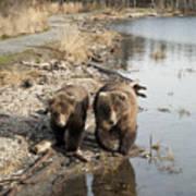 Grizzly Bear Ursus Arctos Horribilis Art Print