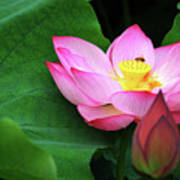 Blossoming Lotus Flower Closeup Art Print