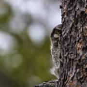 Hawk Owl Art Print