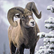 25084, Bighorn Sheep, Winter, Jasper Art Print