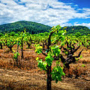 2638- Coffaro Vineyard Art Print