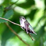 2757 -  Hummingbird Art Print