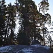 Giant Sequoia Trees Art Print