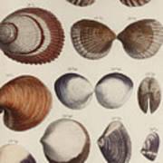 Aquatic Animals - Seafood - Shells - Mussels Art Print