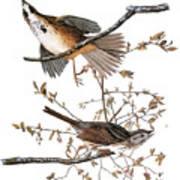 Audubon: Sparrow, (1827-38) Art Print