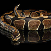 Ball Or Royal Python Snake On Isolated Black Background Art Print