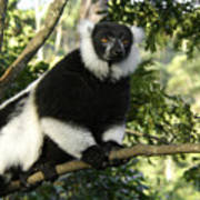 Black And White Ruffed Lemur Art Print