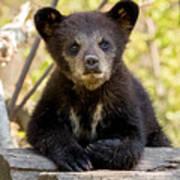 Black Bear Cub Art Print