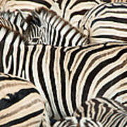 Burchells Zebras Equus Quagga Art Print