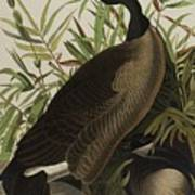 Canada Goose 3 Art Print