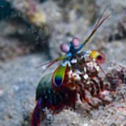 Close-up View Of A Mantis Shrimp, Papua Art Print