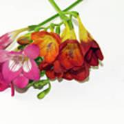 Colorful Freesia Art Print