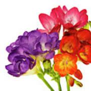 Colorful Freesias Art Print