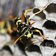 Common Wasp Vespula Vulgaris Art Print