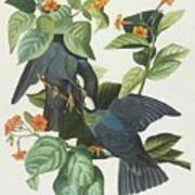 Crowned Pigeon Art Print