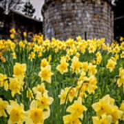 Daffodils And Bar Walls, York, Uk. Art Print