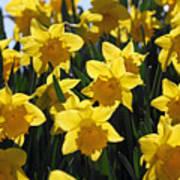 Daffodils In The Sunshine Art Print