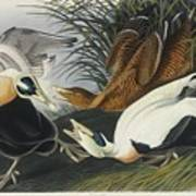 Eider Duck Art Print
