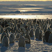 Emperor Penguin Aptenodytes Forsteri Print by Pete Oxford