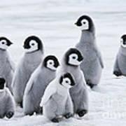 Emperor Penguin Chicks Art Print